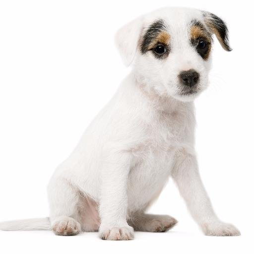 """Képtalálat a következőre: """"dog with white background"""""""
