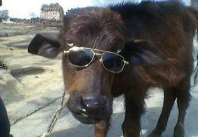 Image result for bhains