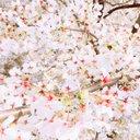 2월의 벚꽃 (@0203bbc) Twitter