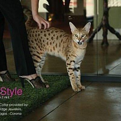 Savannah Cat Shoppe on Twitter: