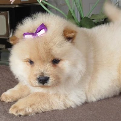 Chow Chow Pups At Chowchowpups Twitter