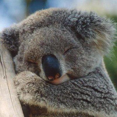 koala fofinho on twitter eucalipto outra vez foda se