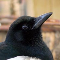 Sophie The Magpie