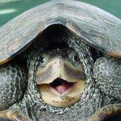 TurtlePeeking (@turtlepeeking) Twitter profile photo