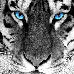 Tiger's Hunt