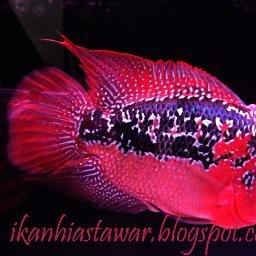 Download 101 Gambar Ikan Hias Tercantik HD Terbaik