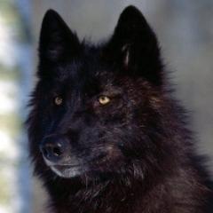 Blackwolfster