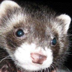 Ferret Slave