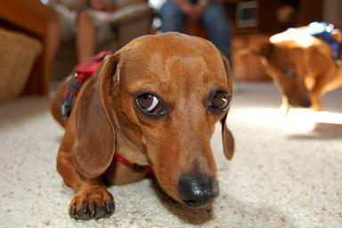Adoption Report Hits Home Cbs News Maureen Maher Adopted Article 1 as well One Pet Food  panys Controversial C aign likewise Hot Dog Waffle Sliders further Photos Glimpses Of Talent Connect Day 12 in addition The 23 Coolest Dachshund Tattoo Designs In The World. on weiner food