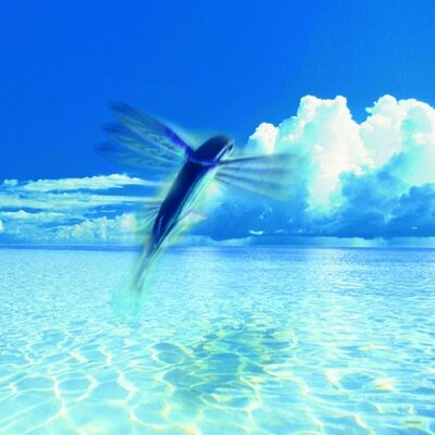 Access barbados accessbarbados twitter for Flying fish images