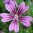 Purple_flower_normal