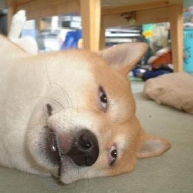 だらける柴犬の爆笑画像