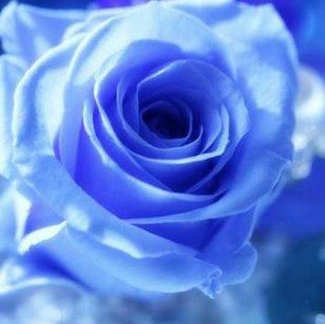 La rose bleue@フランス語