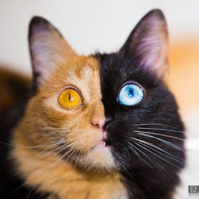 all that you should know about the chimera cats