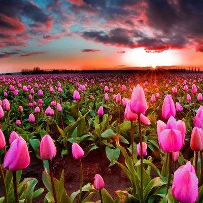 花畑の壁紙夕暮れ時のチューリップ