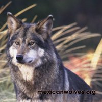 Mexican Wolves | Social Profile