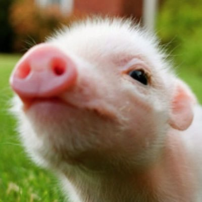official baby pigs officialpiglets twitter