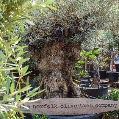Norfolk Olive Trees