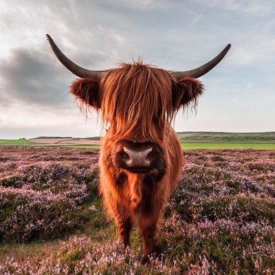 Highland Cows Highland Cows Twitter