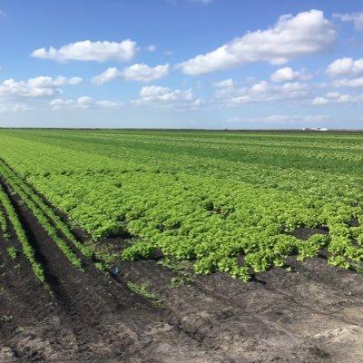 Lettuce Breeding UF (@UfLettuce )