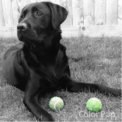 Carter The Labrador