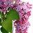 lilacflower49