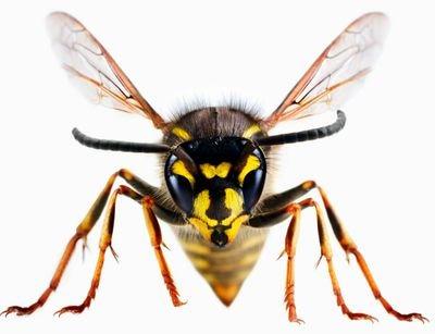 Zealot Wasp