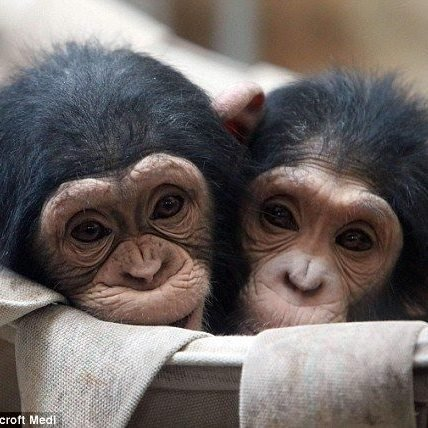 Two Fat Chimps