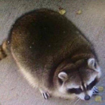 Lost Raccoon Mirage