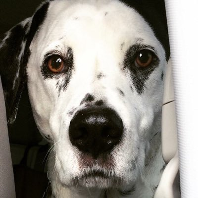 Howie the Dalmatian | Social Profile
