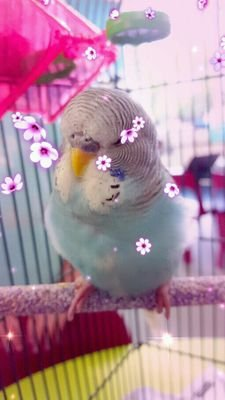 Fudgie The Budgie