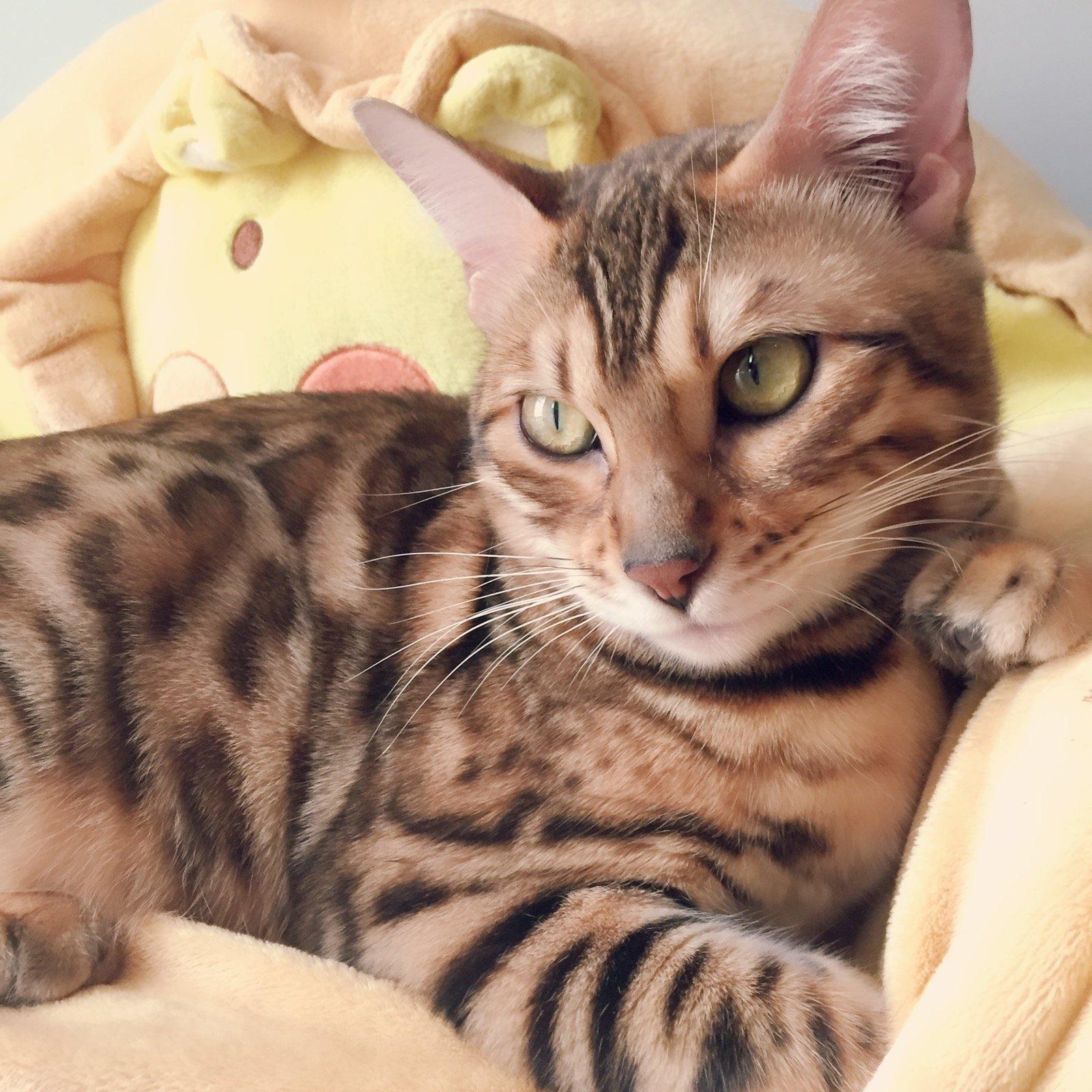 "Nasreen Bari on Twitter "" destinationjeddah kittens bengal cat"