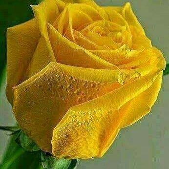 Rosas Amarillas At Rosasamarillas5 Twitter
