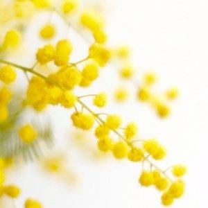 mimosa @mimosa773