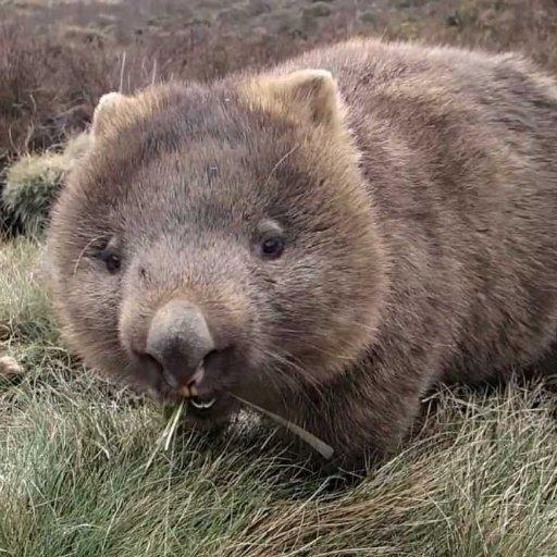 Wombat:)