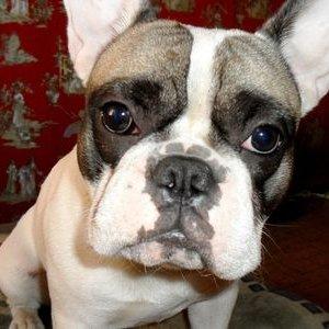Good bulldog (@Goodbulldog)