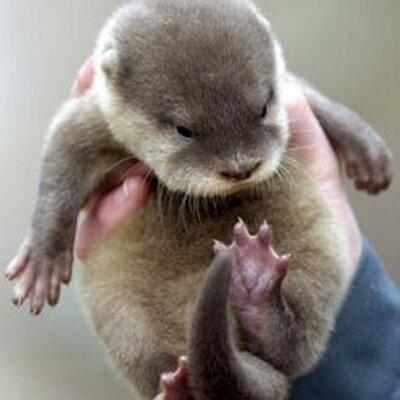 cute baby otters cutebabyotters twitter
