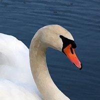 Claddagh Swan