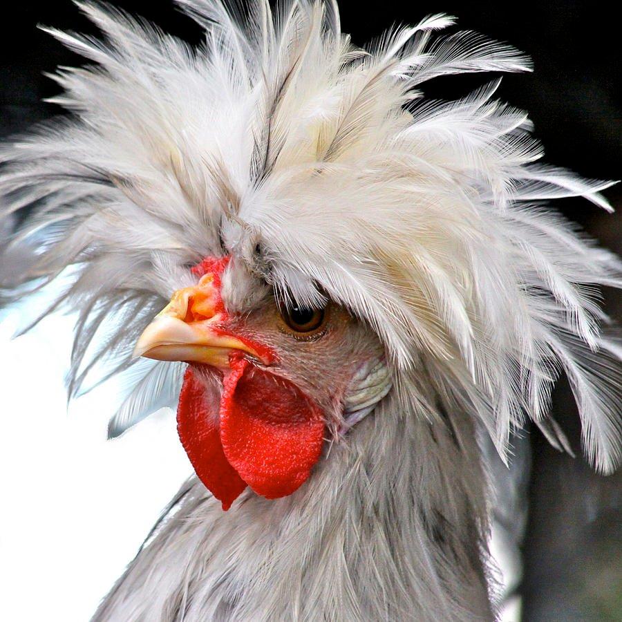 Картинки про курицу смешные