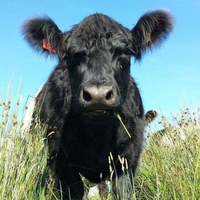 Auchengassel (@Belted_Galloway) Twitter profile photo