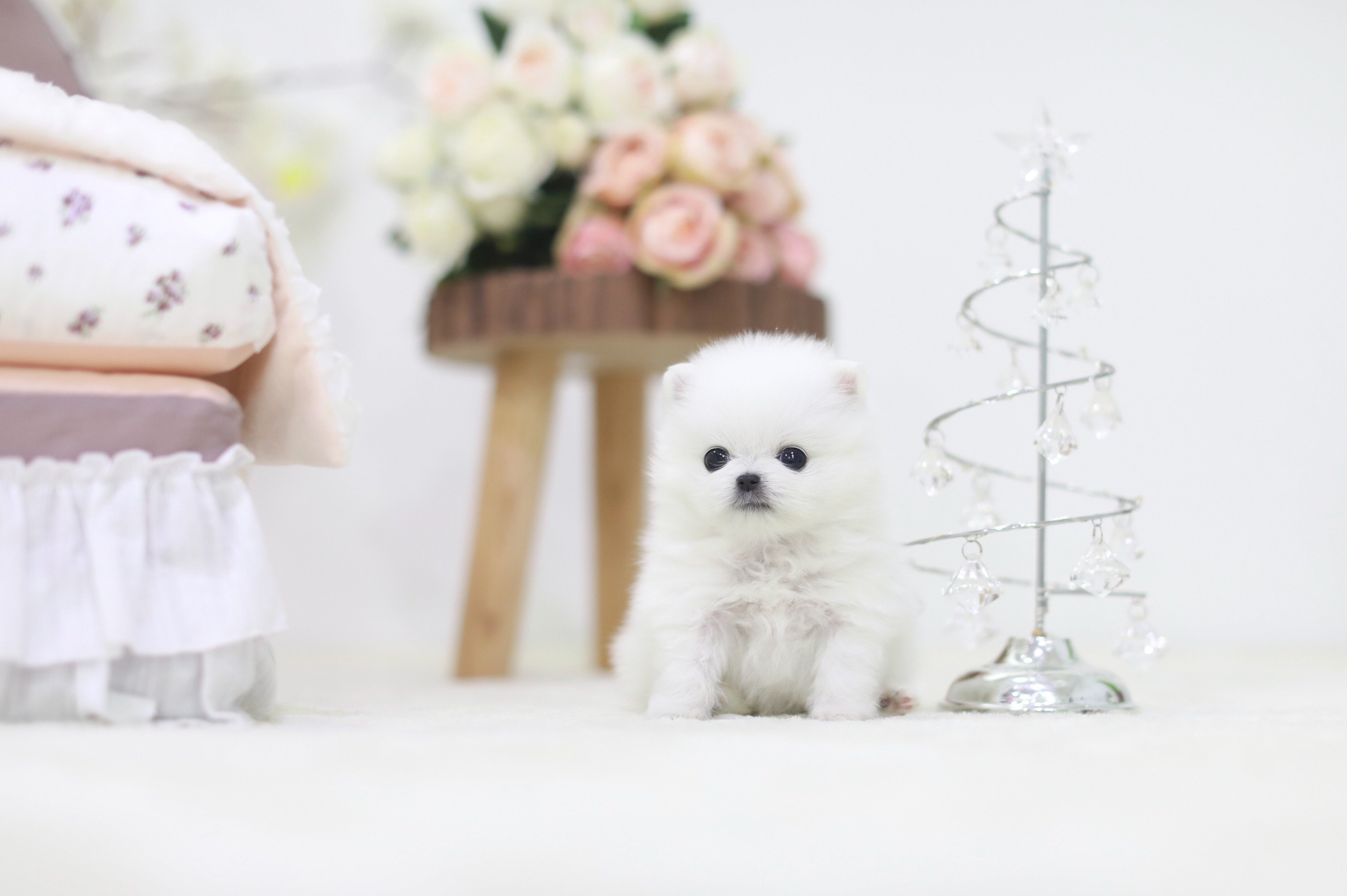 "Boutique Puppies on Twitter: ""Visit our Premier Puppy Page ~ Boutique Teacup Puppies  http://t.co/DiHdOoB http://t.co/fR0uZua"""