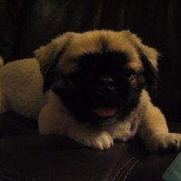 Matt The Pekingese