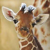 GiraffeRCute1