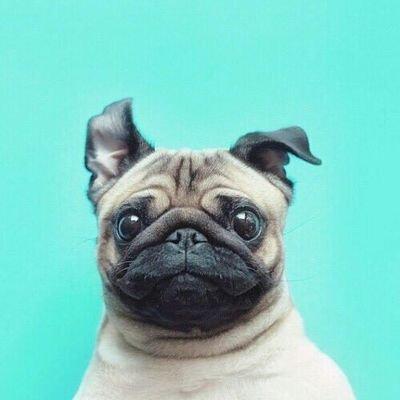 Pugs (@PugsReacts )