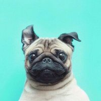 Pugs (@PugsReacts) Twitter profile photo