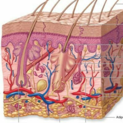 Integumentary System (@skincell2017) | Twitter