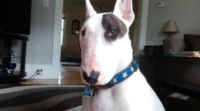 Rex the TV terrier