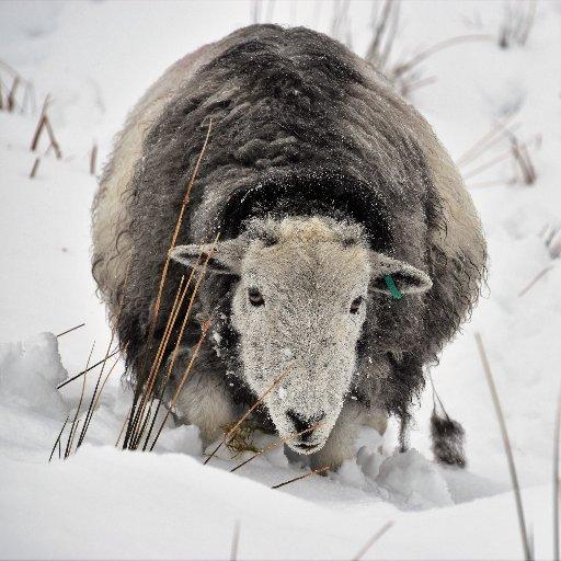 Ambleside Sheepskins (@Ambleside_Sheep) | Twitter on dry sheep equivalent,
