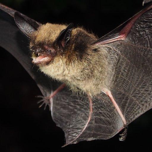Alberta Bats