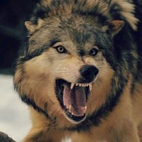 Wolf of the West.